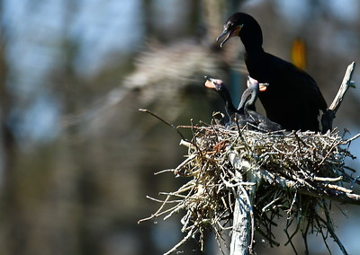 Neotropic Cormorant with Chicks on Nest