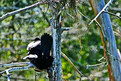 Cormorants Breeding