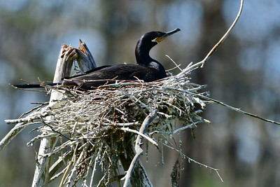 Neotropic Cormorant on Nest