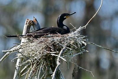 Neotropic Cormorant on Nest