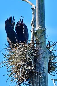 Male Cormorant in Gargle Display