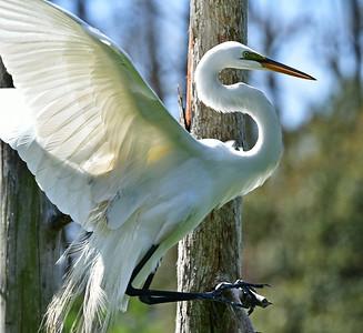 Great Egret Landing on a Branch