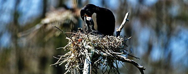 Neotropic Cormorant Feeding Her Chicks
