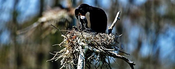 Neotropic Cormorant Feeding Her Chicks
