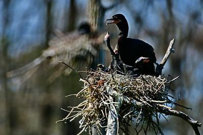 Neotropic Cormorant Parent Feeding 3 chicks