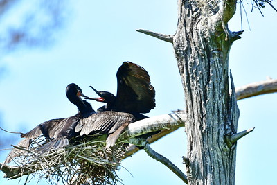 Neotropic Cormorant mating pair