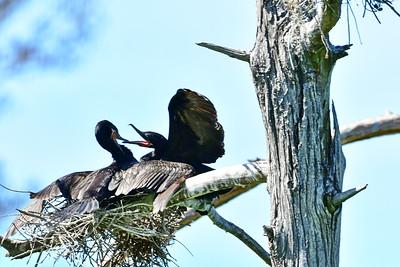 Neotropic Cormorant mating pair