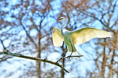 030217_Shangri_La_OrangeGreat_Egret_Perched-Wings-spread_500_5159a