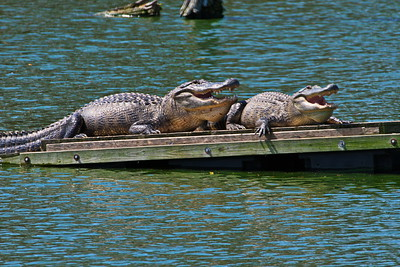 Aligators Warming Their Bodies with Mouth Open