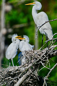 Great Egret Chicks & Parent