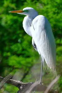Great Egret with Green Lores Breeding Plumage