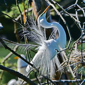 Great Egret:  Breeding Display