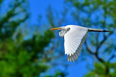 Great Egrets Breeding Behavior