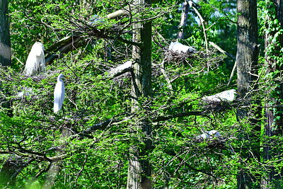 Great Egret Nests