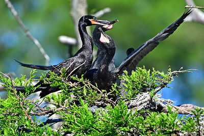 Hungry Cormorants