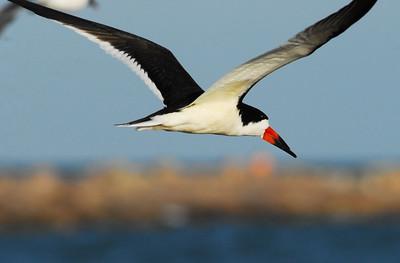 Black Skimmer flying  Quintana Neotropical Bird Sanctuary
