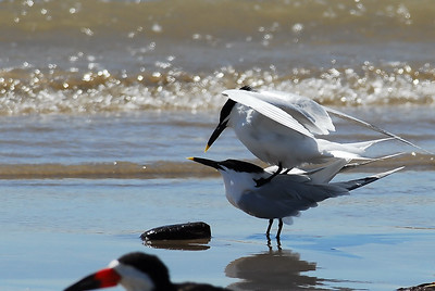 Quintana Neotropical Bird Sanctuary Sandwitch terns letting us know that it's spring on the beach.