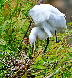 Great Egret Turning Her Eggs