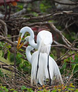 Pair of Great Egrets Nest Building