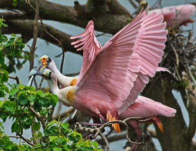04122017_High_Island_Rookery_Rosette_spoonbills_foreplay_500_8355a