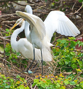 Pair of Great egrets tending their nest