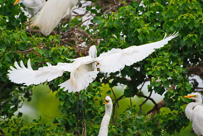 Great Egret Arriving with Branch