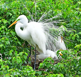 Great Egret in Breeding Display
