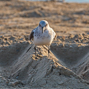 Sanderling Stare Down