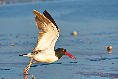 09292017_Texas_City_Dike_Oystercatcher_Wings_Up_500_2263