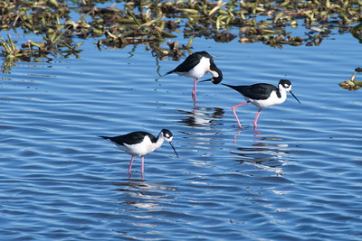 Three Black-necked Stilts