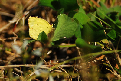 Yellow_Butterfly_WillowWH