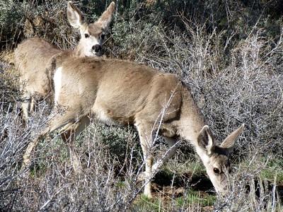 Watchful mule deer having supper.