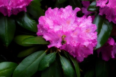June 4, 2008; Day 33. Please forgive a second rhododendron shot in a row, but I got even better conditions than yesterday: raindrops and fewer mosquitoes, in addition to overcast light and no wind!  Oliver suggested that I try the Orton technique with a single exposure where everything is in focus, then apply the Gaussian blur and blend them.  This is what I got.  The greens are WAY better than yesterday, and so is the flower. I had taken several bracketed exposures of this flower for HDR practice. The HDR wasn't so great (it flattened the flower too much). Not surprisingly perhaps, the most correctly exposed original was the best for Orton. (I used the Apply Image->Screen step to lighten the originals.)  Here's the original photo.  Before applying the Orton technique: Raw: WB: 5500K (daylight) PS: Unsharp Mask: 20-30-0 Post-Orton: PS: Cloned out hot spot in lower left.