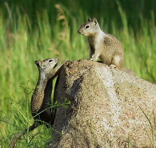 Ground Squirrels Playing King of the Hill - 2017