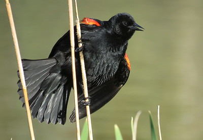 Red Sholdered Black Bird - 2017