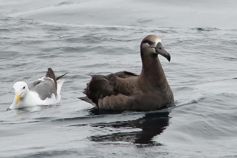 Black-footed Albatross, near Half Moon Bay, CA