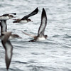 Pink-footed Shearwaters, near Half Moon Bay, CA