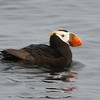 Tufted Puffin, near Southeast Farallon Island, California