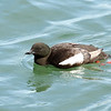 Black Guillemot, Dublin Bay, Ireland
