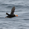 Tufted Puffin, open ocean outside of Monterey Bay, California
