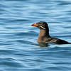 Rhinoceros Auklet, Port Angeles, WA