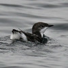 Scripps's Murrelet, open ocean near Half Moon Bay, California