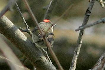 Ruby-Crowned Kinglet, Fontenelle Forest, Bellevue, NE