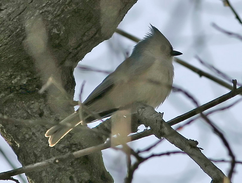 Tufted Titmouse, Fontenelle Forest, Bellevue, NE