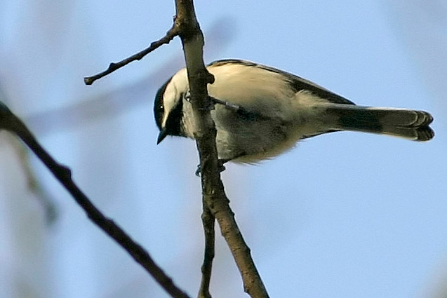 Black-Capped Chickadee, Fontenelle Forest, Bellevue, NE