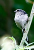 Long-tailed Tit, London Wetlands Centre, UK