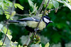 Great Tit, London Wetlands Center, UK