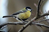 Great Tit, Uetliberg, Switzerland