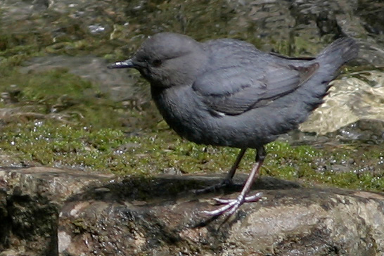 American Dipper, Johnston Canyon, Banff NP, Canada