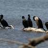 Double Crested and Neotropic Cormorants, Patagonia Lake, AZ